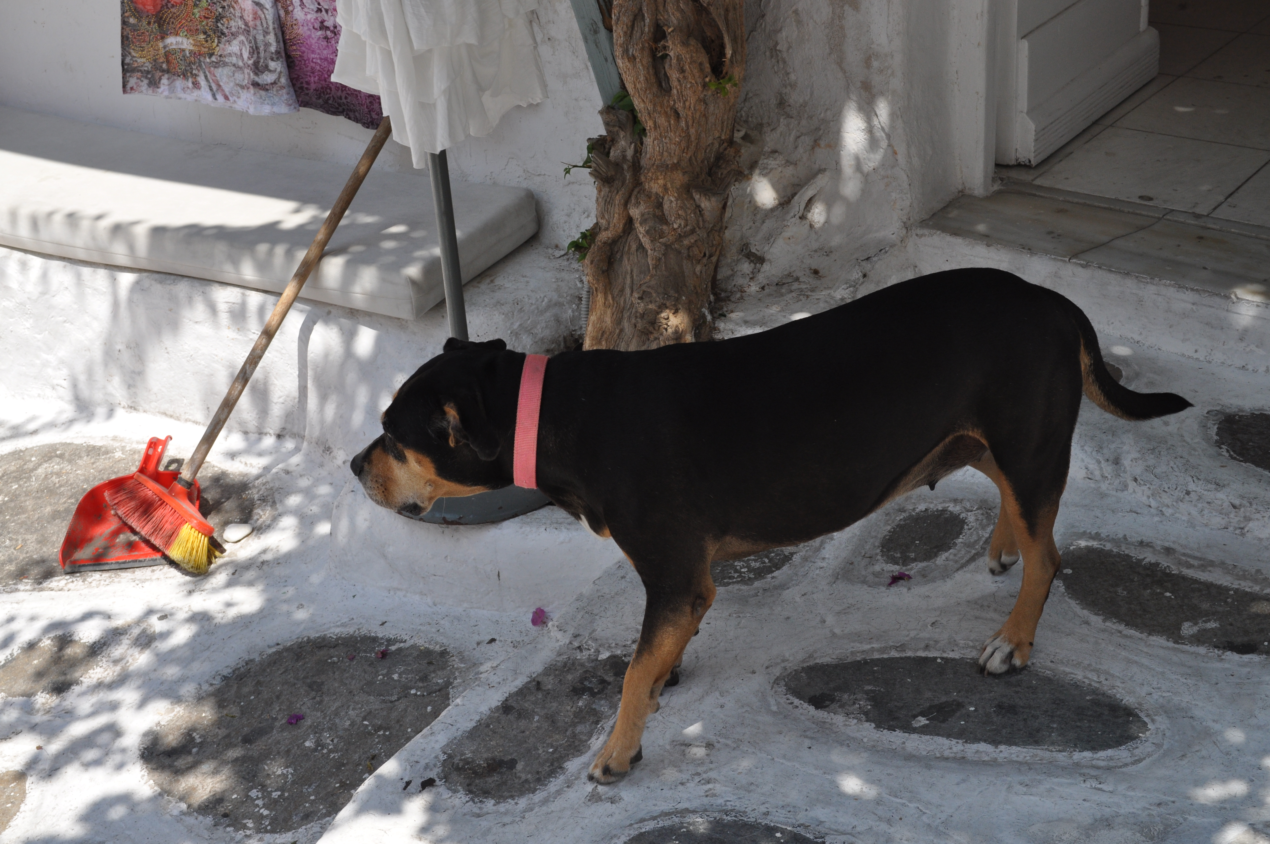 Siberian Husky RottweilerSiberian Husky Rottweiler Mix